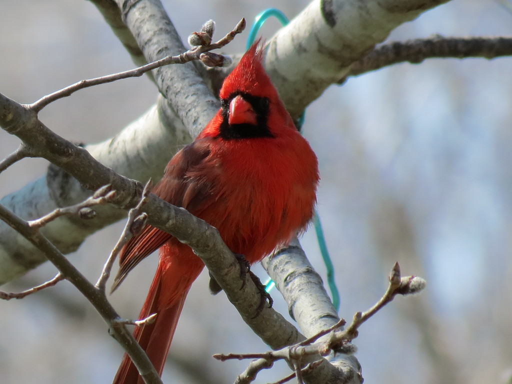 Cardinal in the Big Tooth Aspen tree on April Fools Day.