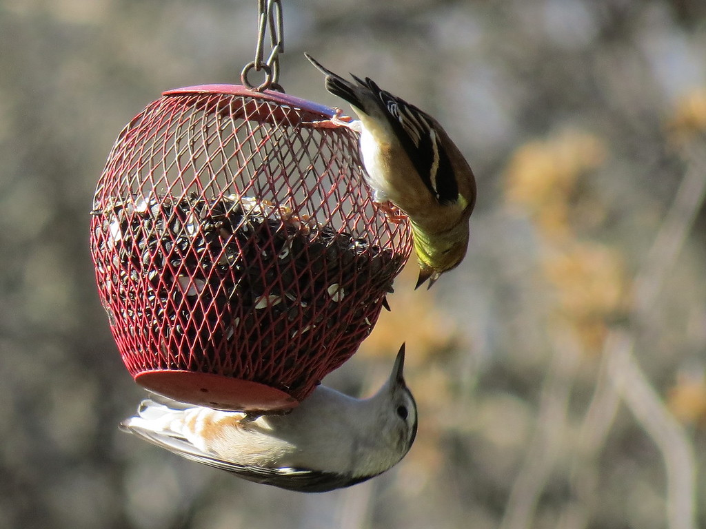 A Goldfinch and Nuthatch on Thanksgiving Day.