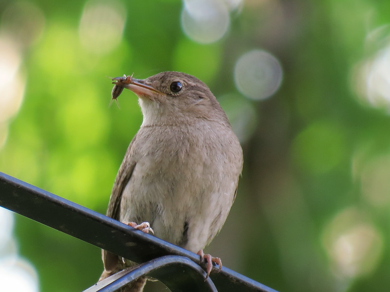 Wren with cricket