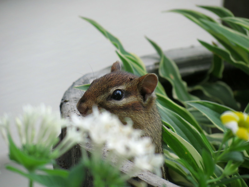 This little squirrel is digging in the flower pots all of the time.