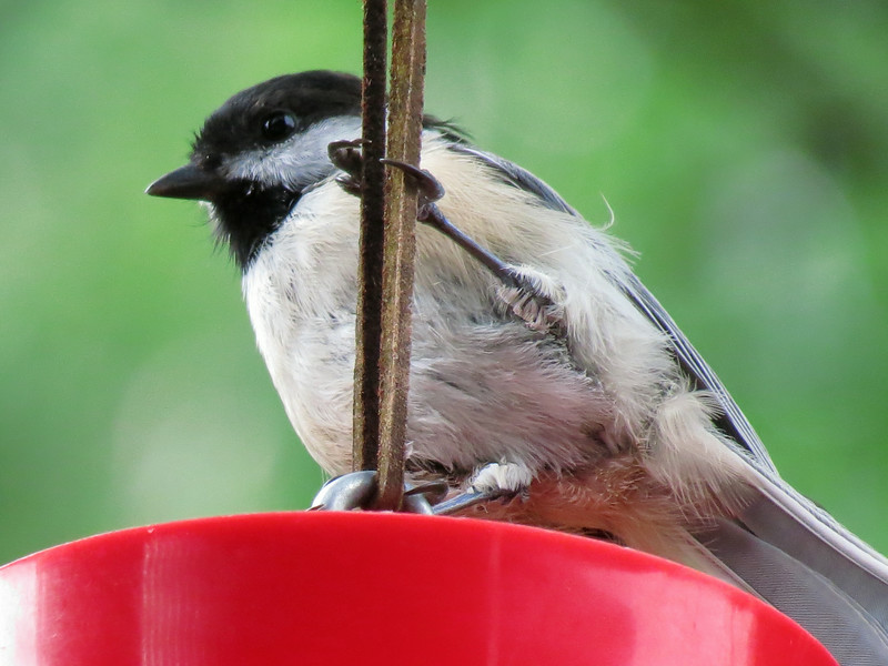 Chickadee getting a drink of water.