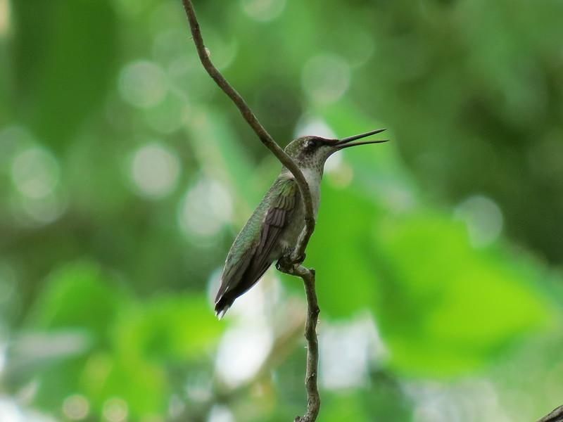 Hummingbird Yawning