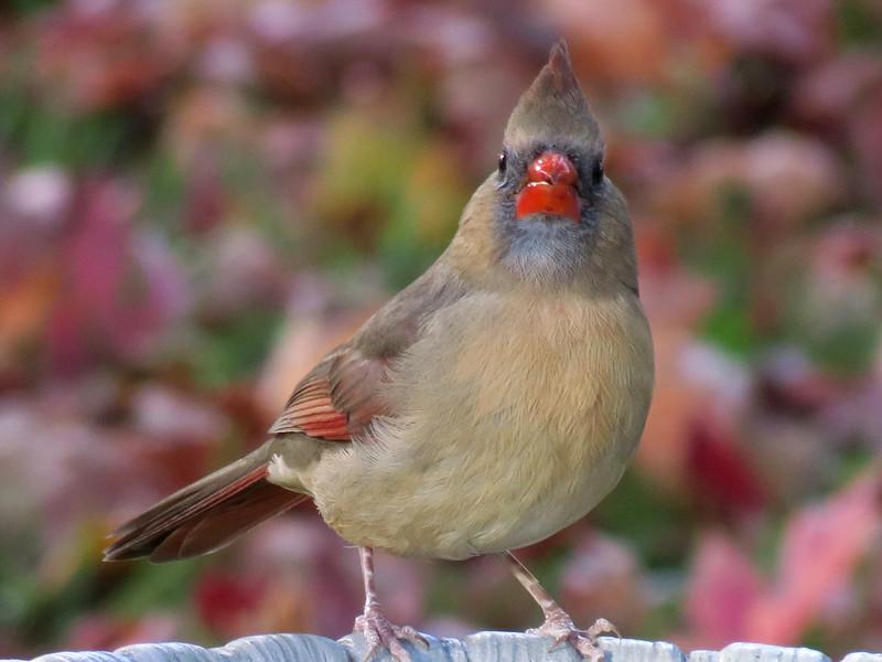 Cardinal at birdbath.