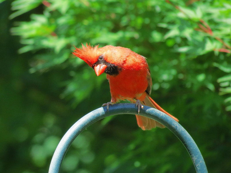 Red Cardinal on a Shepard's Hook