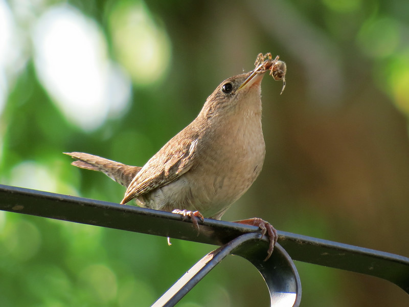 Wren with spider