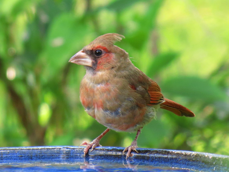 Cardinal on blue bird bath.