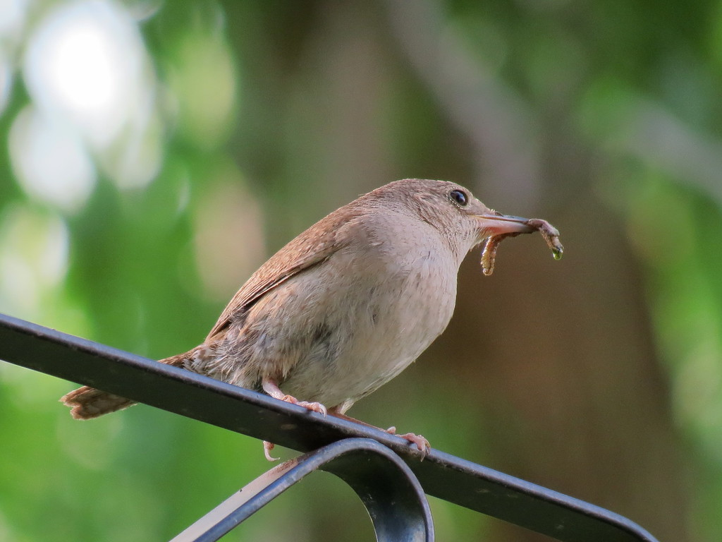 Wren with worm