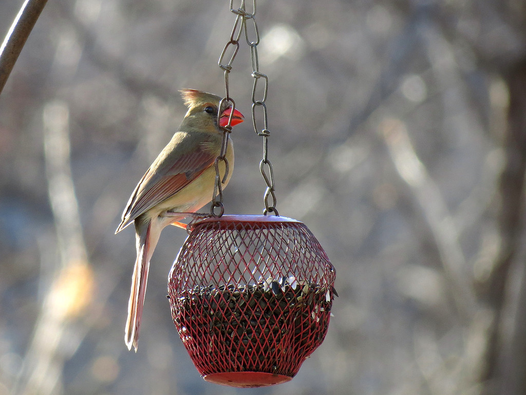 A Cardinal visits the globe feeder during a lull in the terrible winds that we have had lately.