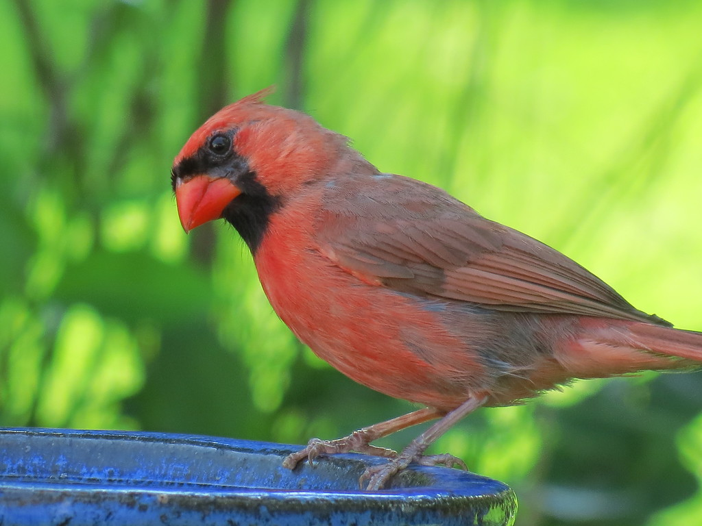 Cardinal at the blue bath