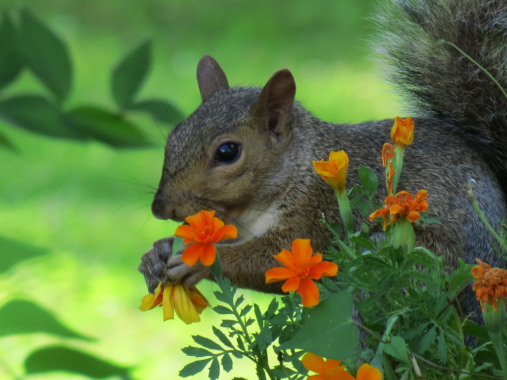 Squirrel that eats the Marigolds.
