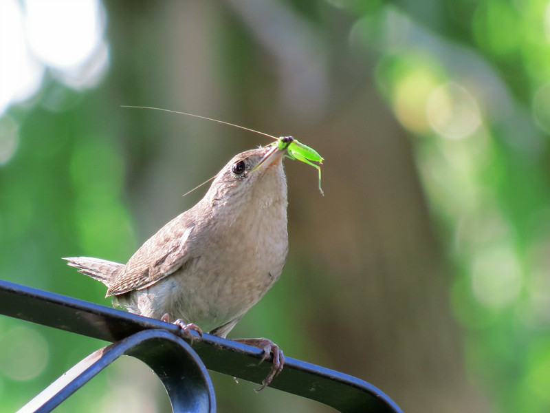 Wren with katydid
