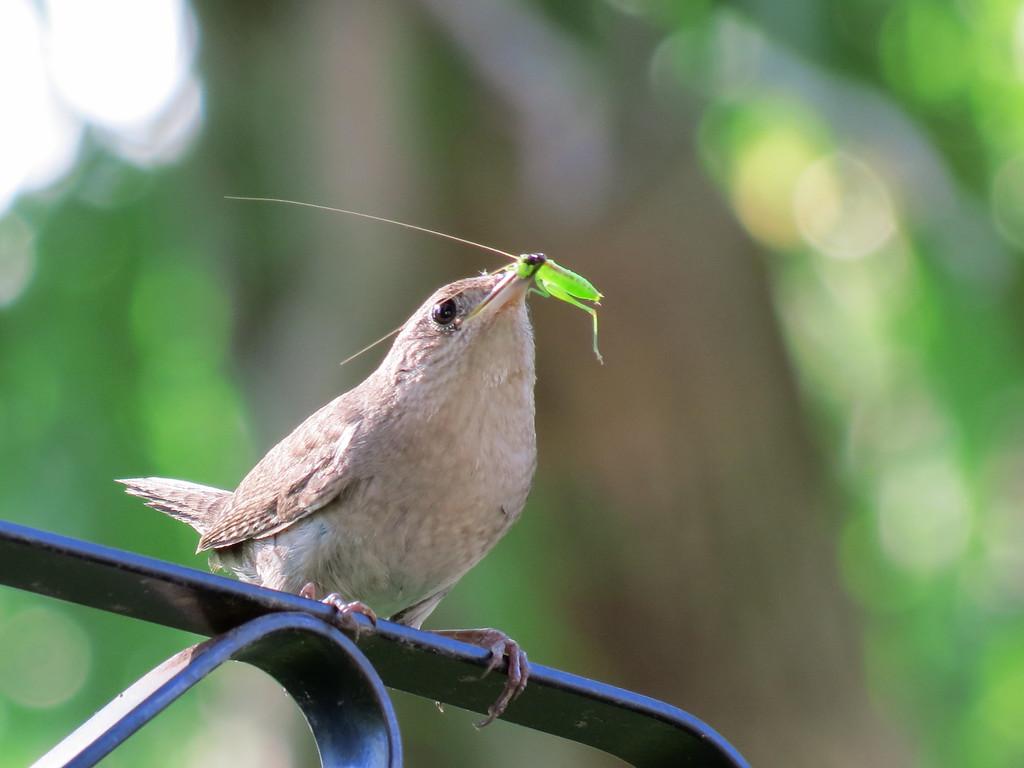 Wren with katydid