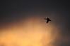 moody cormorant