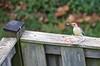 11 3 17 Red Bellied Woodpecker 2