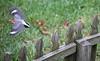 11 3 17 Red Bellied Woodpecker 4