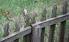 11 3 17 Red Bellied Woodpecker 1