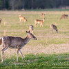 Berry College Whitetail Deer