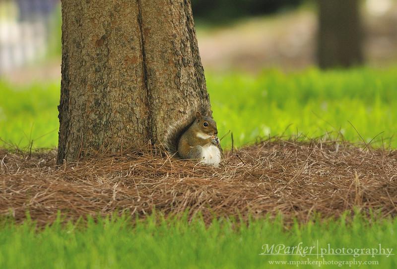 UGA Squirrel