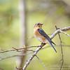 Female Bluebird @ Callaway Gardens