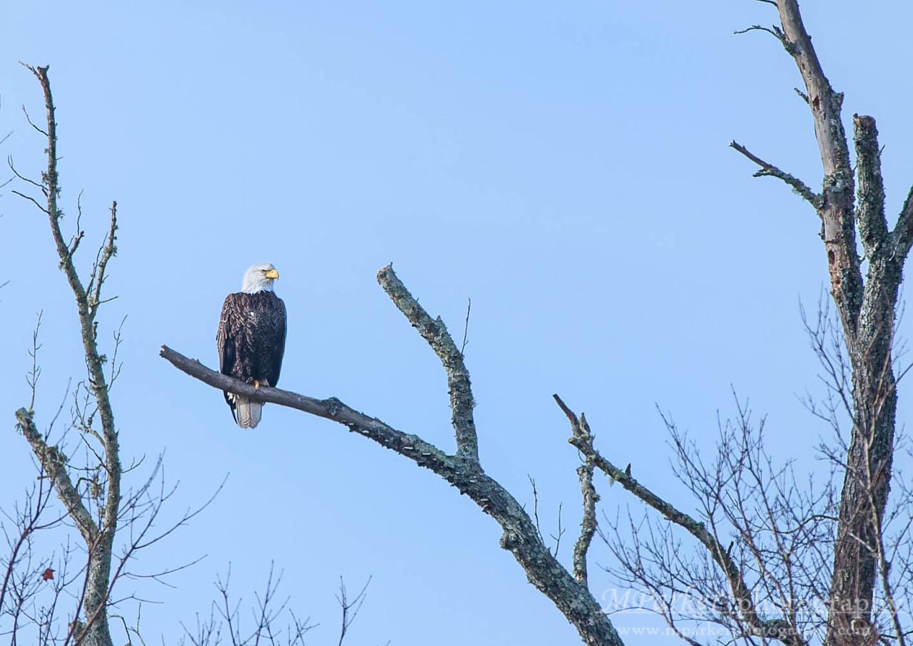 Eagles @ McIntosh Reserve