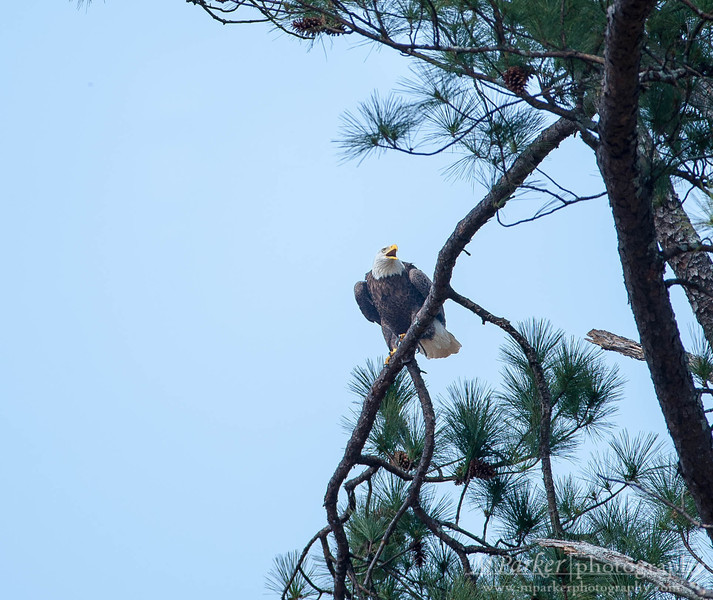 Berry College Bald Eagle