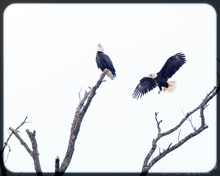 Bald Eagles @ McIntosh Reserve