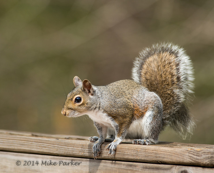 Mr. Squirrely