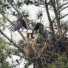 Berry Mama Eagle departing nest