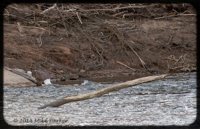 Bald Eagle drinking from Chattahoochee River