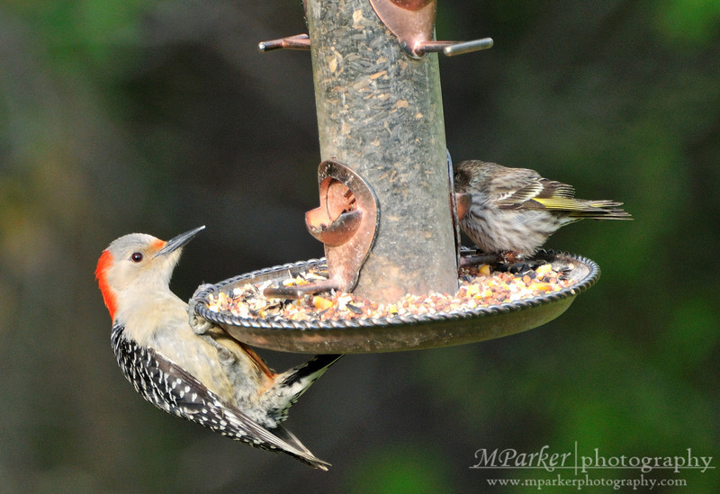 Red-bellied Woodpecker i