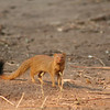 the elusive slender mongoose. don't blink or you'll miss him.