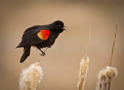 Red-winged blackbird, by Phyllis