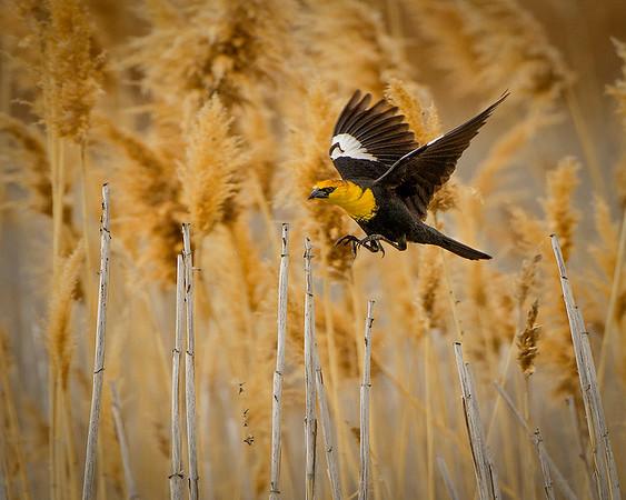Birds of the Great Salt Lake