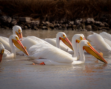 Pelican pod by Phyllis