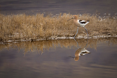 American Avocet and reflection, by Phyllis