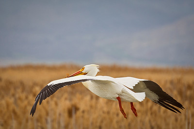 American White Pelican in flight, by Phyllis