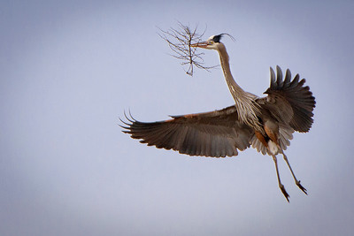 Great blue heron bringing in nest material; Farmington Bay Wildlife Area, by Bill
