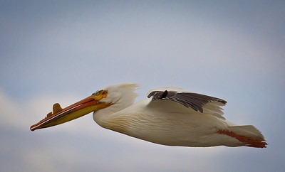 American White Pelican soaring high, by Phyllis