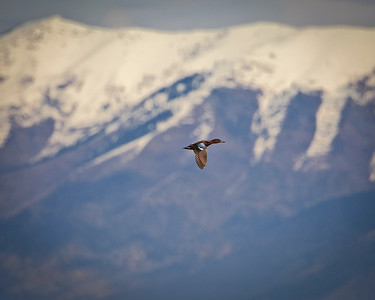 Green-Winged Cinnamon Teal flying by the Wasatch Range, by Phyllis