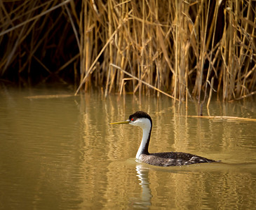 Western Grebe, by Phyllis