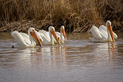 American White Pelicans commonly swim along together in groups or pods, and dip down in synchrony to feed (see next)