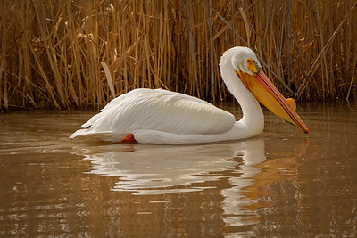 American White Pelican, Bear River Migratory Bird Refuge, by Bill