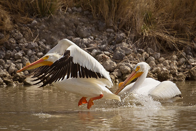 Phyllis captured an American White Pelican lifting off; Bear River Migratory Bird Refuge