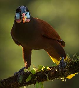 This Montezuma Oropendola has a beak full of banana, by Phyllis