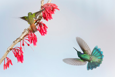 Rufous-tail (left) and Green Violet Ear (right) hummingbirds, by Phyllis