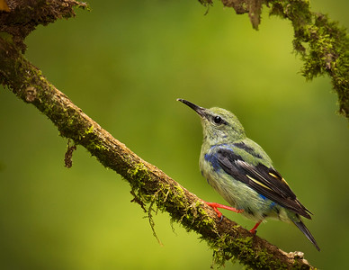 juvenile male red legged honeycreeper, by Phyllis