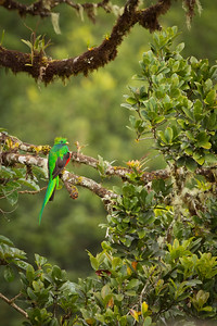 Resplendent Quetzal male, by Phyllis