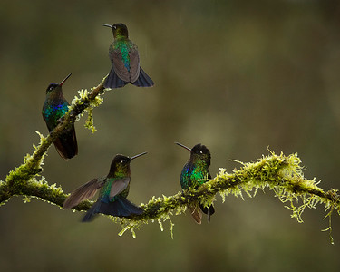 Fiery-throated Hummingbirds in the rain, by Phyllis