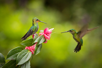 Phyllis's image of a green-crowned brilliant hummingbird approaching a flower while a perched juvenile male looks on.