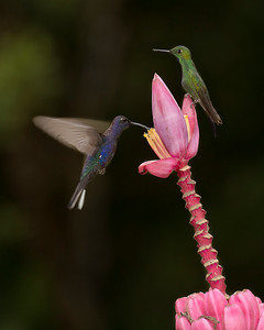 Violet Sabrewing (left) and Green-Crowned Brilliant (right) hummingbirds, by Bill